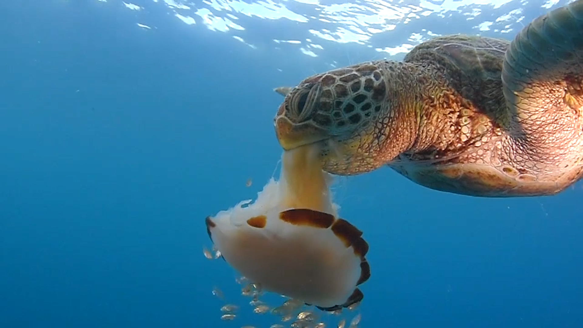 See A Sea Turtle Devour A Jellyfish Like Spaghetti