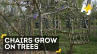 The Art Of Growing Chairs On Trees   Videsta.com