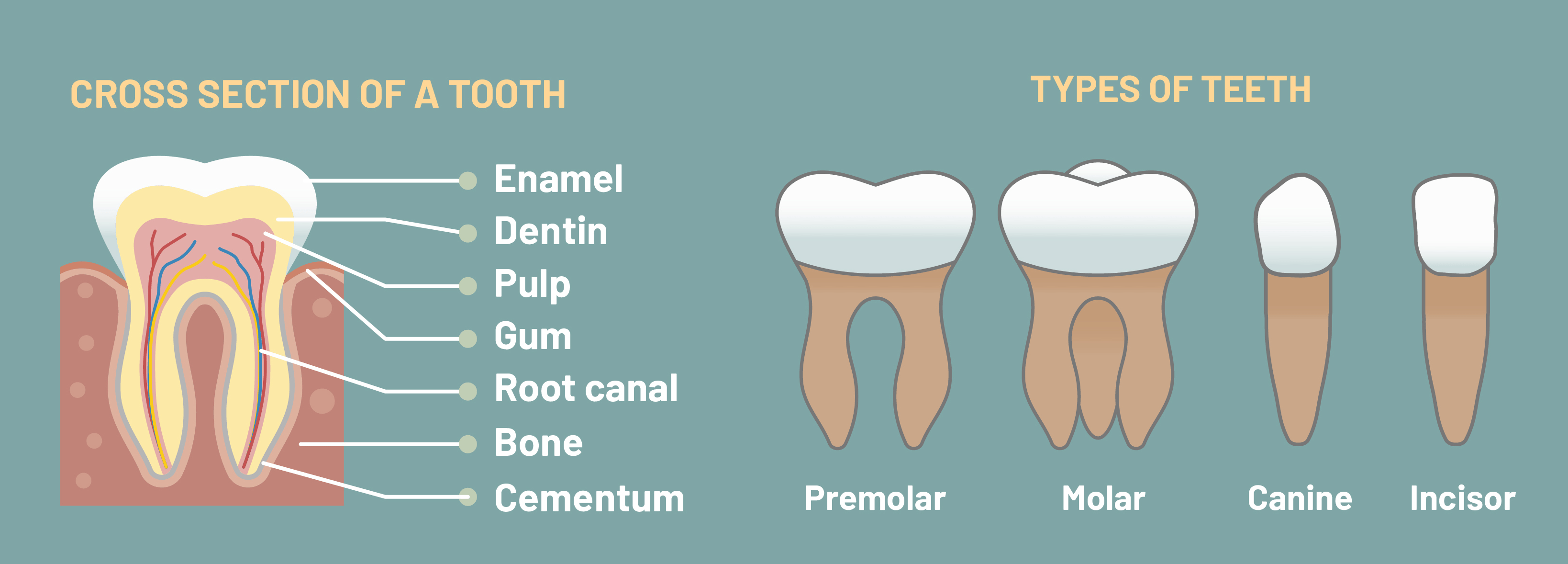 What Are The 4 Types Of Teeth And Why Do We Have Them