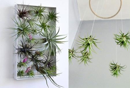 Tillandsia planten die leven van de lucht nu vanaf slechts
