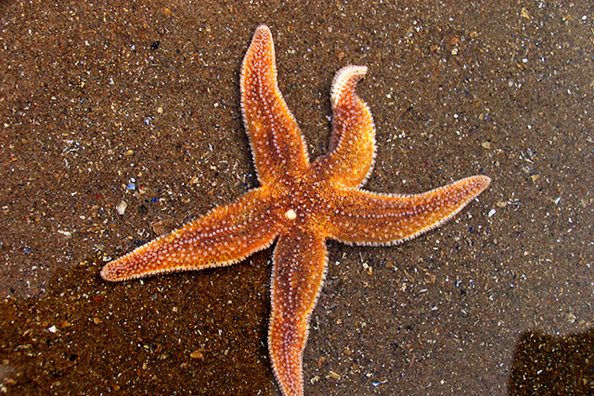 starfish are dying in