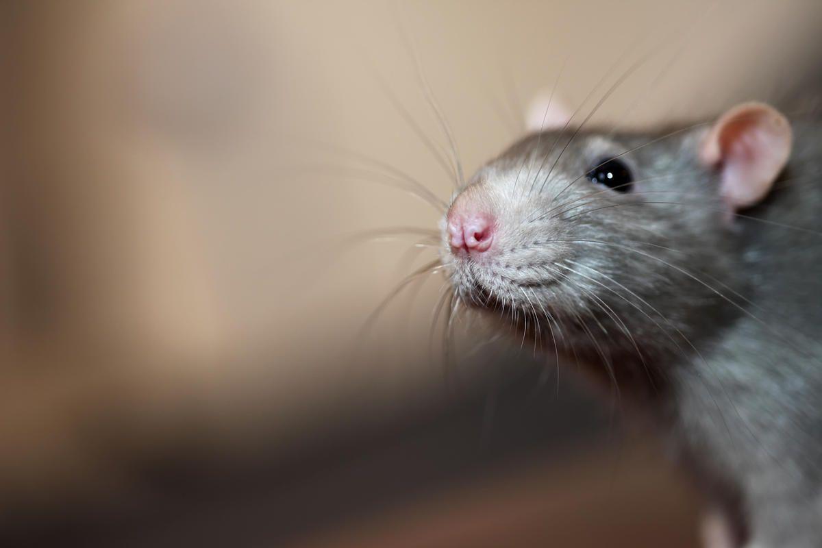 Rat-borne Seoul virus diagnosed in Utah County resident - Deseret News