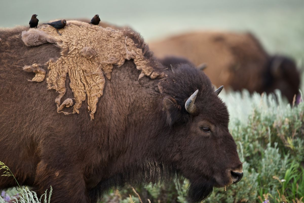 what bison in south