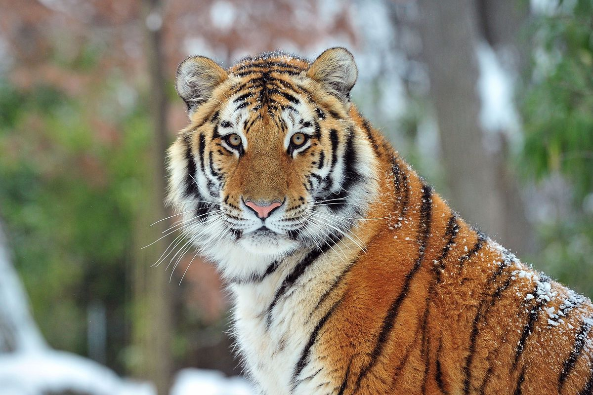What We Know About The Bronx Zoo Tiger With Covid 19 And How The Disease Affects Other Animals Vox