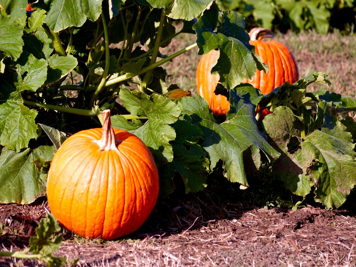 The Best Pumpkin Patches In And Around Austin Updated
