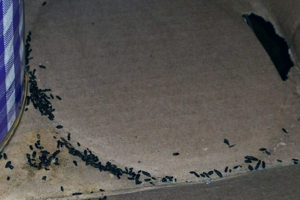 Mouse droppings killed a mom, not the flu - Chicago Sun-Times