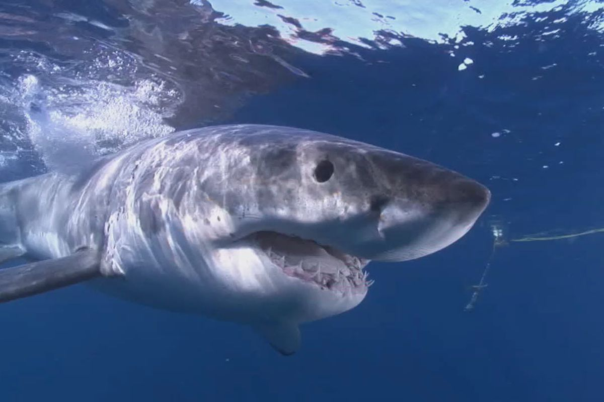 hight resolution of great white shark