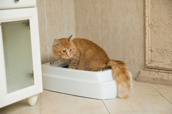 Automatic Toilet Cats And Small Dogs Real