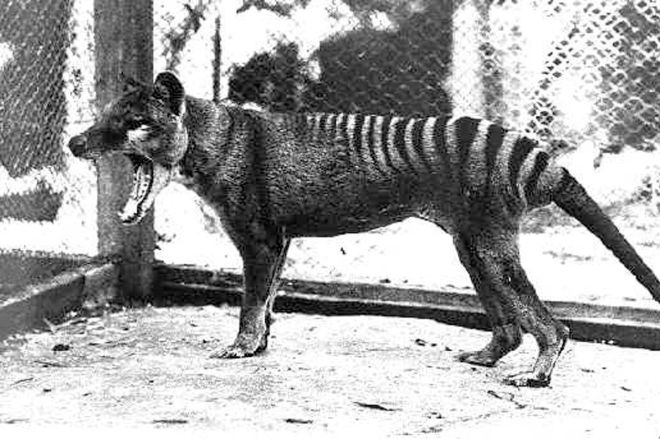 532470136.0 The thylacine remains extinct, but we still have pademelons | The Verge