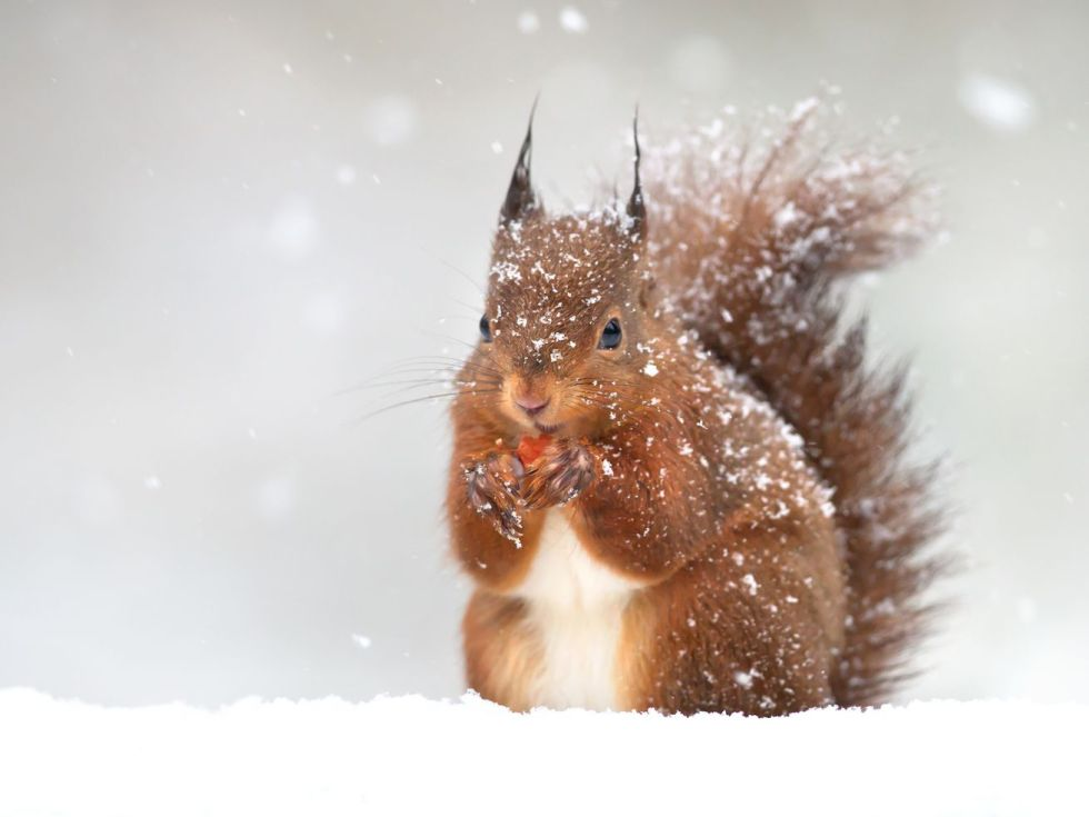 A red squirrel eats an acorn surrounded by falling snow.