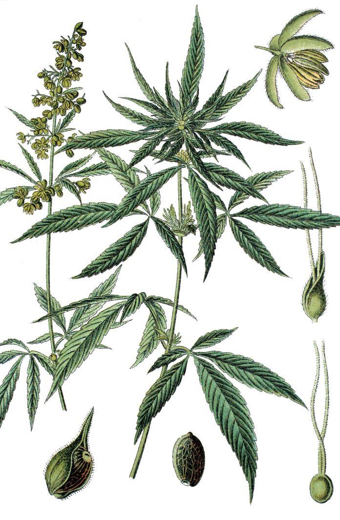 Bilder von Marihuana-Pflanzen aus den 1890er Jahren.