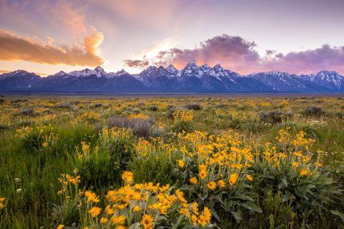 wildflowers at grand teton national park