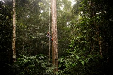 Supertrees: Meet Congo s caretaker of the forest the Afrormorsia tree Vox
