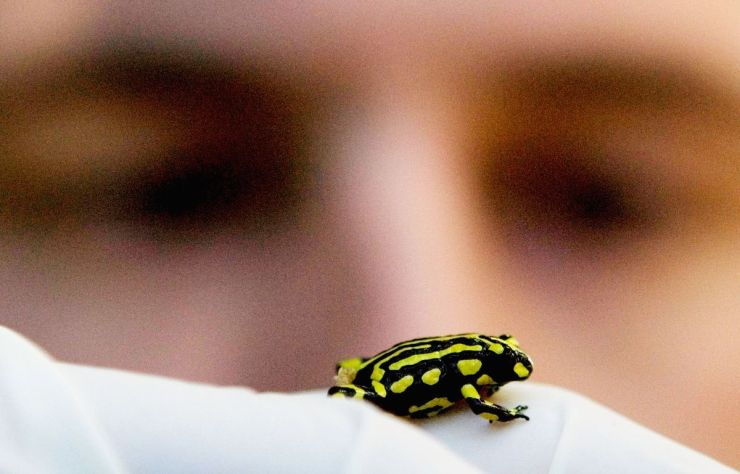 A Corroboree Frog walks across the gloved palm of reptile keeper. Only about 200 Corroboree frogs exist in the wild in their natural habitat of the Kosciuszko National Park in New South Wales. The frogs are threatened by the amphibian chytrid fungus.