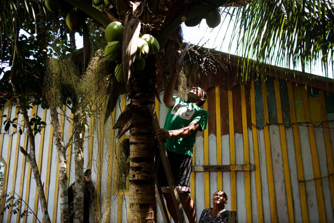 Claudomiro Dos Santos harvests coconuts near his home in the village of Maracarana in the Uatumã Sustainable Development Reserve.