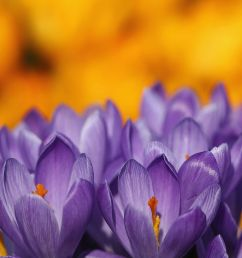 crocuses bloom in hyde park as the first signs of spring begin to show across the united kingdom on february 24 2014 dan kitwood getty images [ 1200 x 800 Pixel ]
