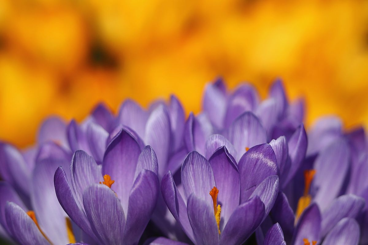 hight resolution of crocuses bloom in hyde park as the first signs of spring begin to show across the united kingdom on february 24 2014 dan kitwood getty images