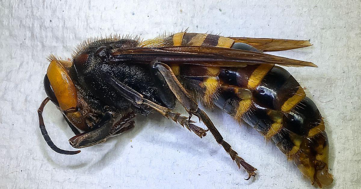Hey murder hornet how's it going