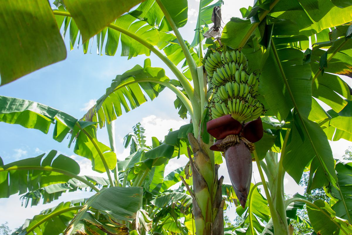 A Guide To Ice Cream Banana Trees This Old House