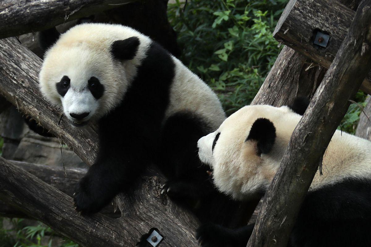 giant pandas are no