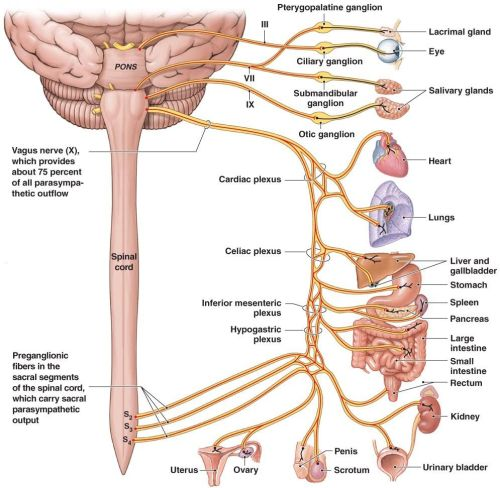small resolution of the vagus nerve which conducts sensation from the vagina and cervix and runs outside the spinal cord might also contribute to orgasms