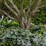 Grow A Lush Shade Garden With Hostas This Old House