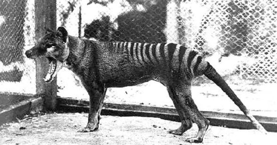 Thylacine remains extinct, but we still have pademelons