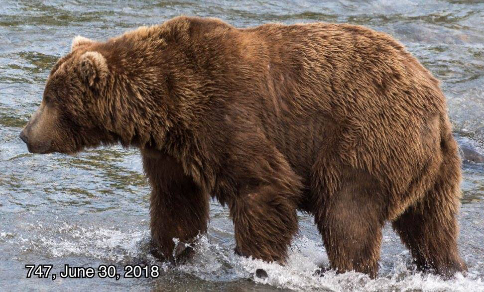 fat bear week beadnose