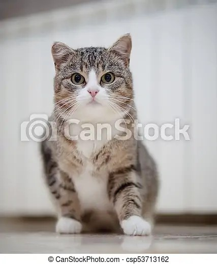 Gray Cat With White Paws : white, Striped, White, Paws,, Sits., Domestic, CanStock