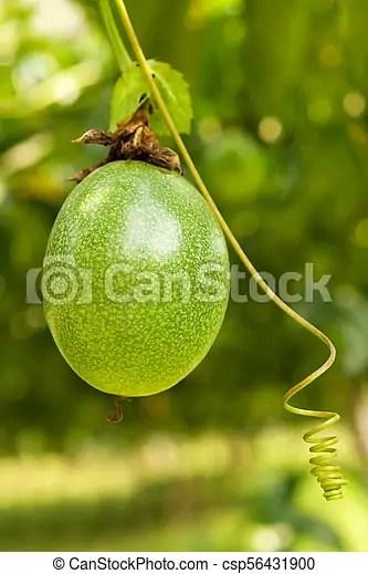 Arbre Fruit De La Passion : arbre, fruit, passion, Arbre.,, Passion,, Mûre,, Fruit., Fruit,, Pendre., CanStock