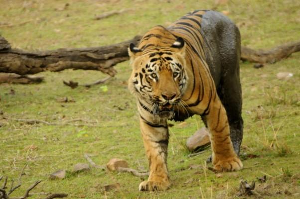 Tadoba-Tiger