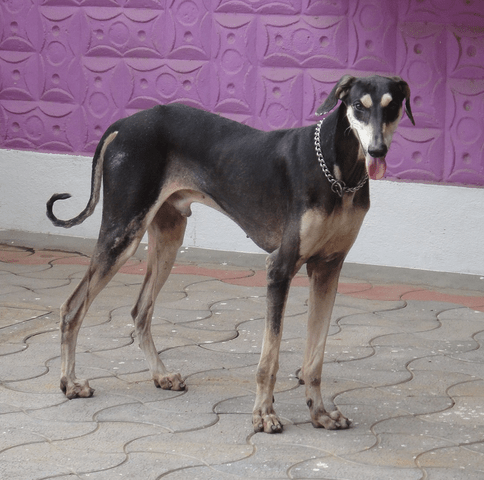 Kanni-Dog