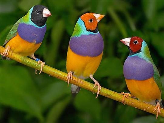 Gouldian-Finch