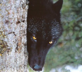 wolf animals eyes wolves dark hd wallpapers tree pretty desktop backgrounds things background wild facts am information updated views category