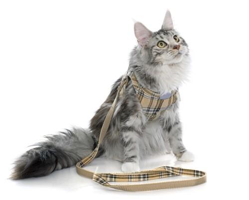 最新 貓 リード 付け方 - 畫像動物フリー