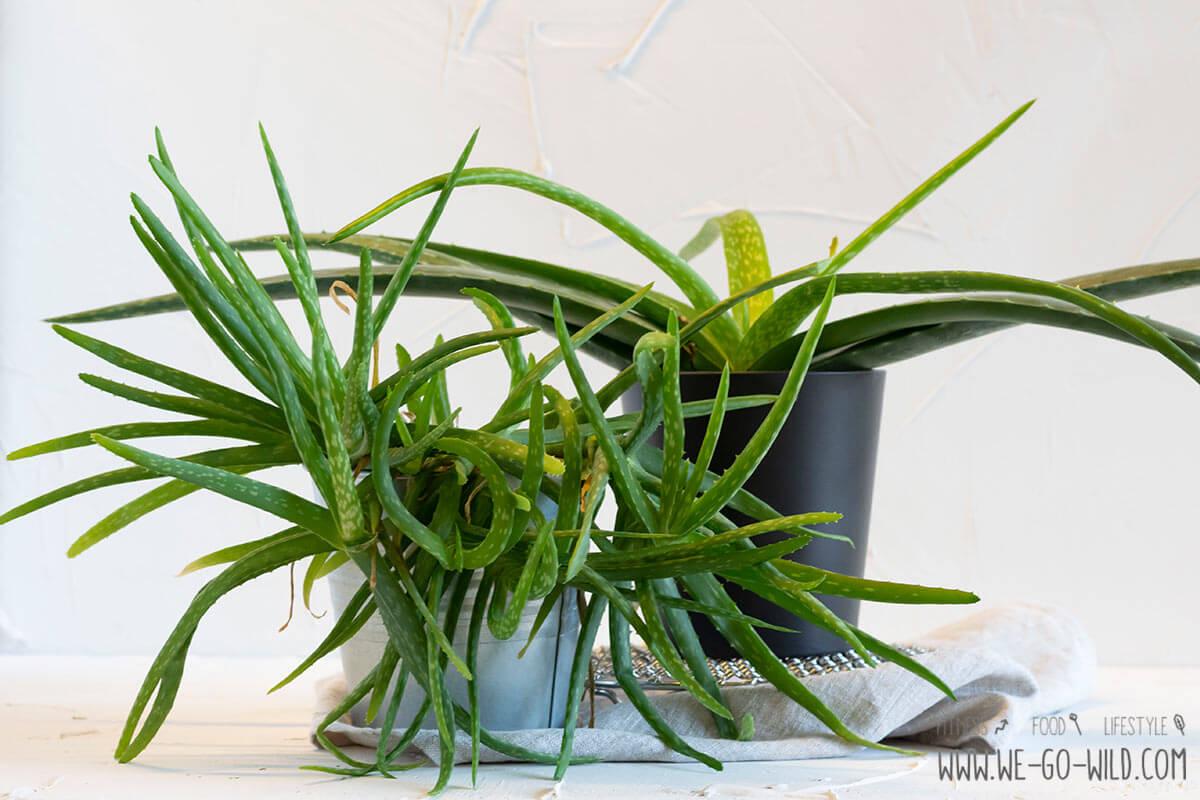 Aloe Vera Pflanze Vermehren