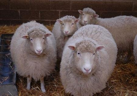 Oveja Dolly fue clonada de nuevo - Oveja-Dolly-fue-clonada-de-nuevo