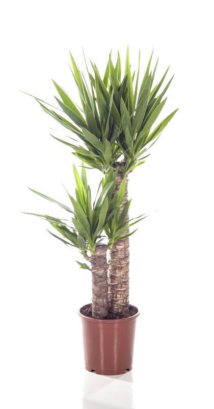 Yucca Elephantipes Palmlelie toef medium eenvoudig en snel