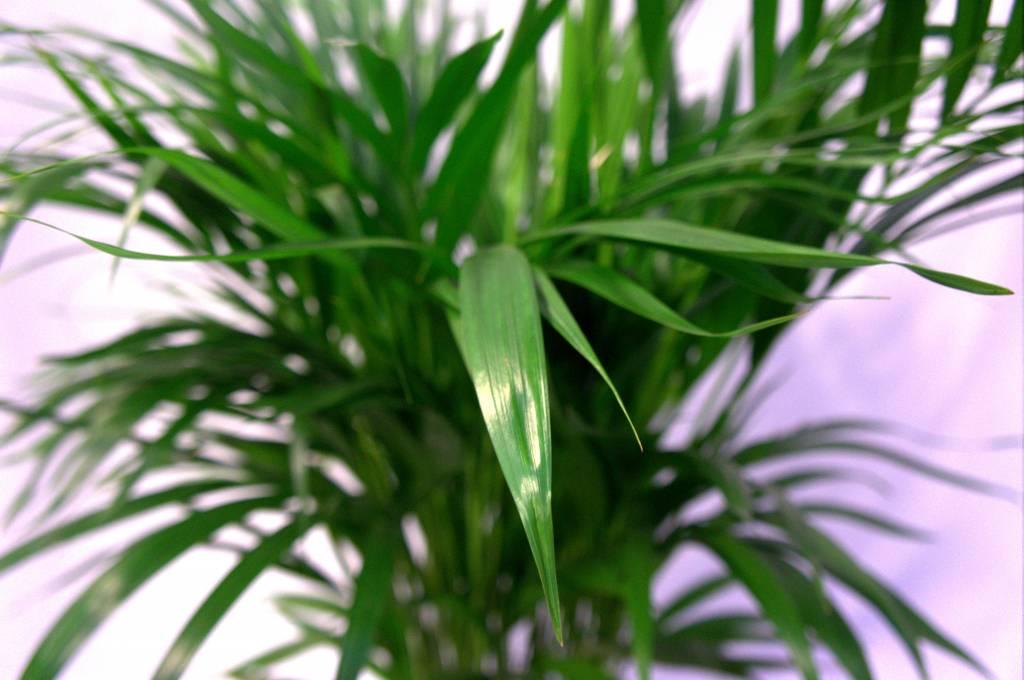 Palm Areca Lutescens XL eenvoudig en snel online bestellen