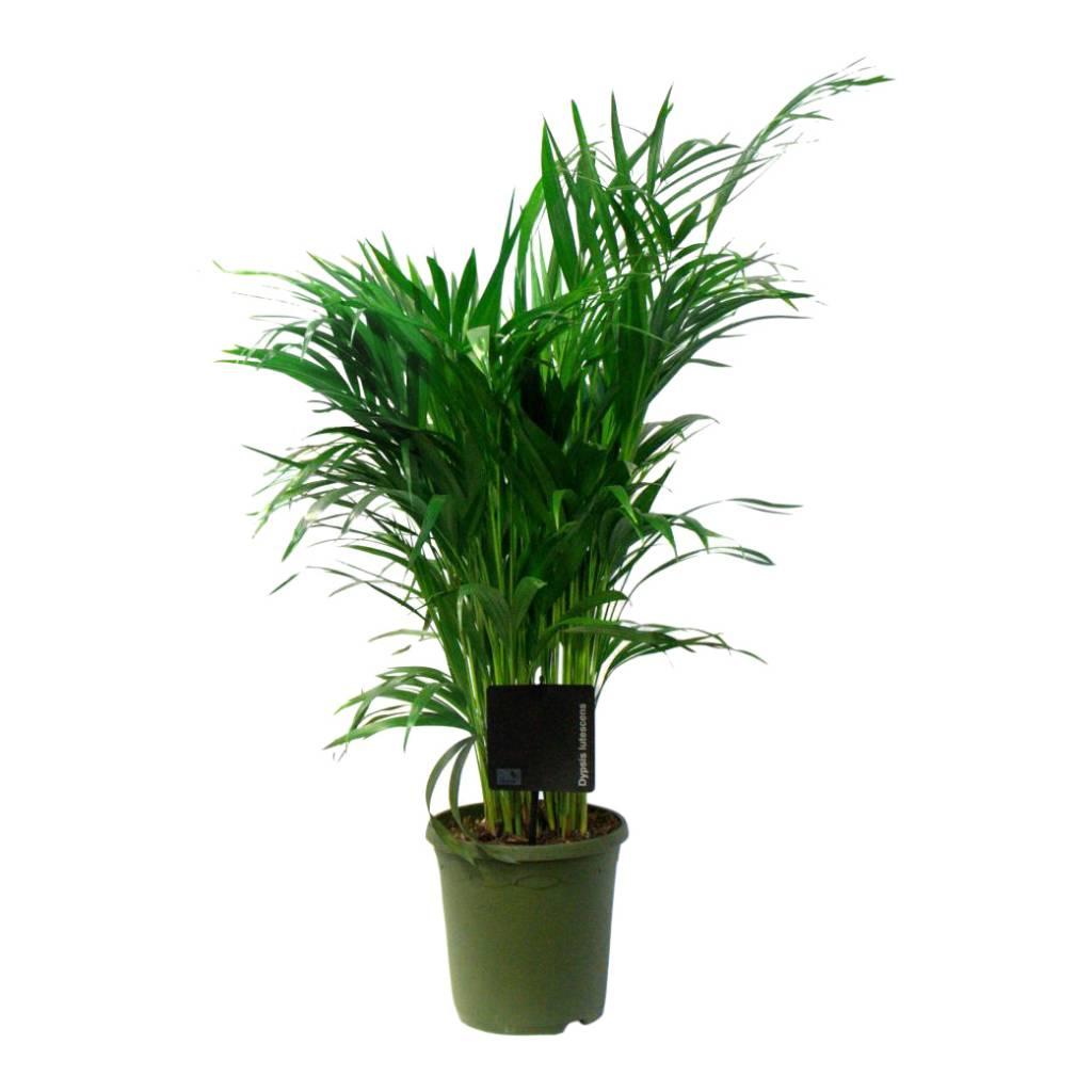 Palm Areca Lutescens small eenvoudig en snel online