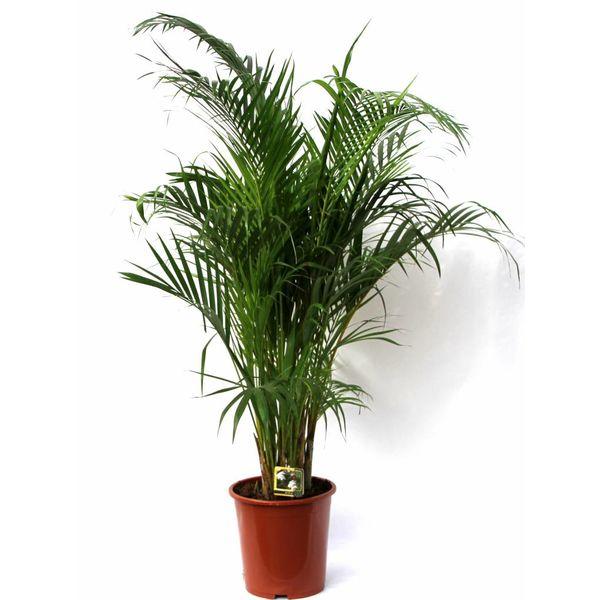 Palm Areca Lutescens medium eenvoudig en snel online