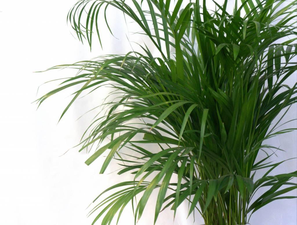 Palm Areca Lutescens XS eenvoudig en snel online bestellen
