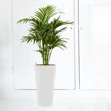 Cadeautip  Grote plant in pot  Fleurdirect