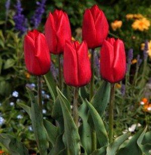 Afbeeldingsresultaat voor tulpen
