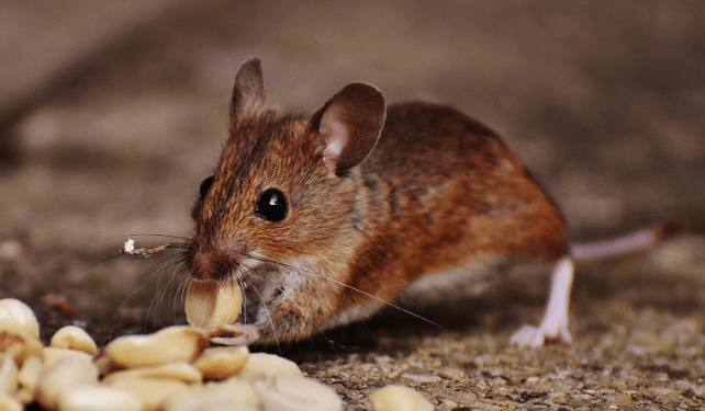 Protect Your Home From Hantavirus-Carrying Deer Mice