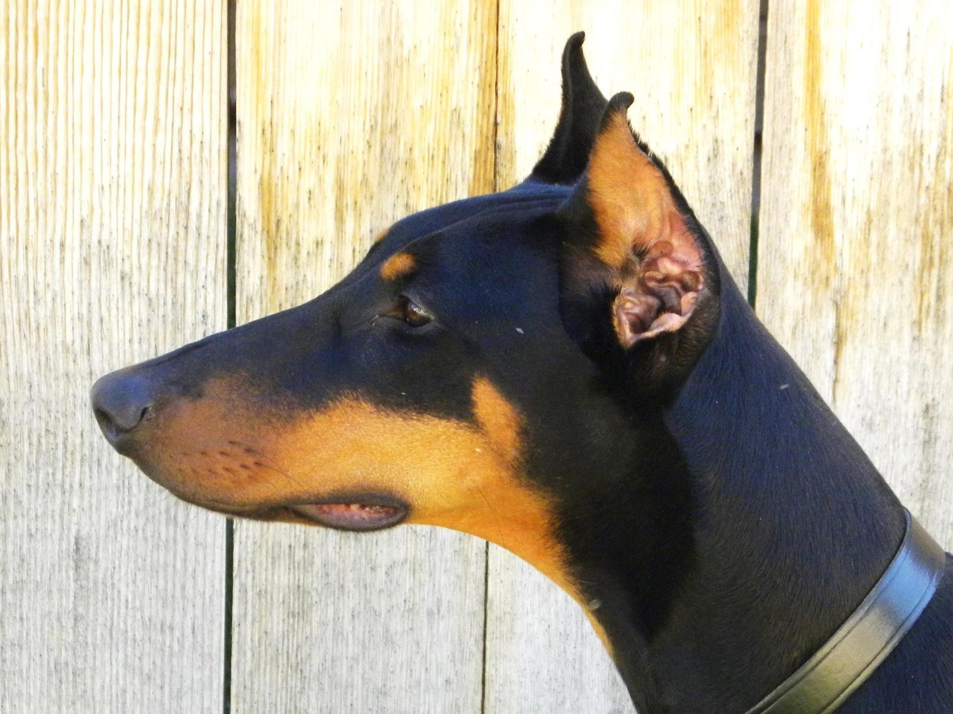 Encouraging Cropped Ears Adult Doberman Pinscher Dog Cropped Ears
