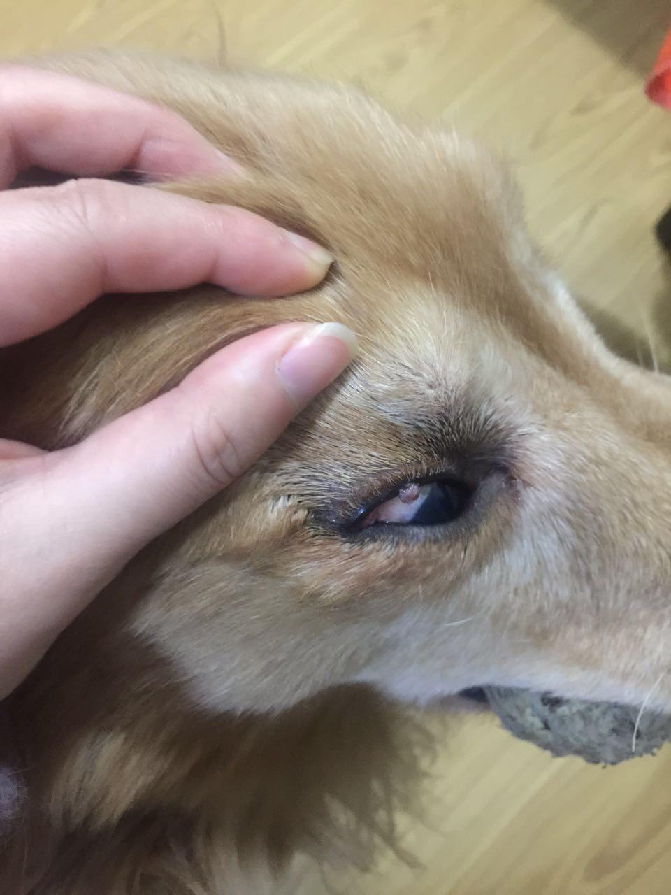 狗狗眼睛上長了一個肉瘤 頭上有兩個 - 萌爪醫生