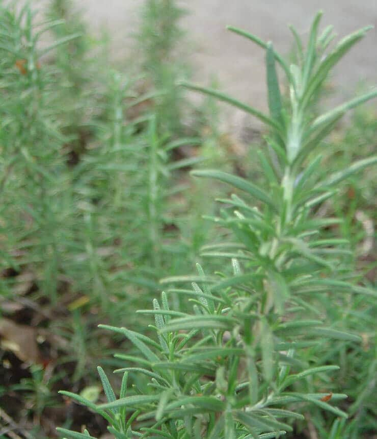 rosemary plant Vinegar of The Four Thieves Health Tonic