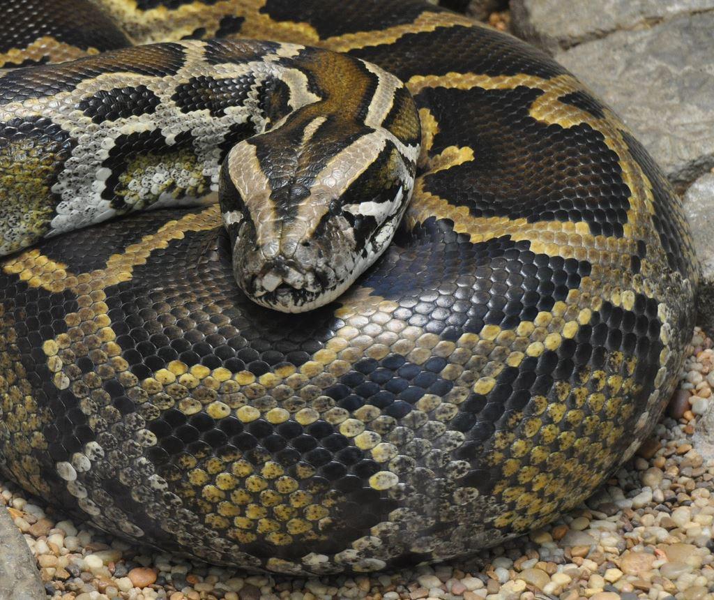 Florida Offers Minimum Wage In New Python Hunting Program