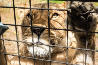 Orana Wildlife Park - Lion Encounter